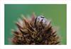 (~julien~) Tags: salticidae saltique araignée spider macro 65mpe a7rii a7r2 julienbarbe ©julienbarbe 2017