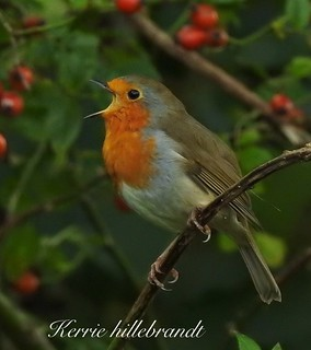 #robin #singing