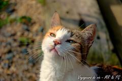 Le chat qui bronze (Voyageurs de vie) Tags: chat animal moustache cat mustache bzh bretagne france breizh isabelle finistère plabennec brittany