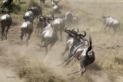 Migracao GNU - Travessia do Rio Mara 35 (Joao Pena Rebelo) Tags: tanzania gnus wildebeest migration safari serengeti wildebeests marariver