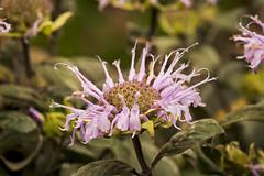 SLT05394 (rudenoon) Tags: bergamot sal100m28 native garden slta99 interlochen michigan usa