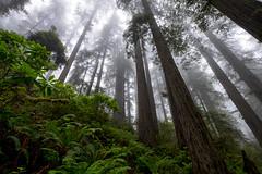 Lady Bird Johnson Trail (Dtek1701) Tags: northerncalifornia nature outside fuji fujinon fujinonxf1024f4ois ultrawide wide mirrorless fujix fujifilm xshooter xseries xmount apsc xflens parks trees westcoast redwoods roadtrip naturallighting outdooor beauty fog mist tall vertical