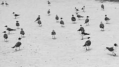 meeting (maotaola) Tags: smileonsaturday featheredfriends meeting gangofseagulls walkingbirds birds seagulls pájaro
