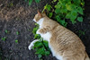 Ziggy Cat - Catnip Antics 6-1-17 33 (anothertom) Tags: cats ziggycat catnip catnipplant yard funnycat sonyrx100ii 2017