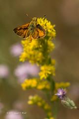Skipper butterfly 3922 (Gerald F. Ward) Tags: yosemitenationalpark yosemitevalley skipper