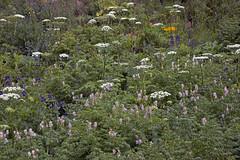 Bouquet, arranged naturally (Jeff Mitton) Tags: wildflowers colorado corydalis cowparsnip sneezeweed larkspur tallbluebell earthnaturelife wondersofnature