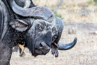 Wild Cape Buffalo Male with Oxpecker