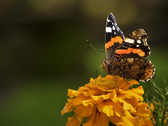 Red Admiral Butterfly (TrotterFechan) Tags: butterfly redadmiral
