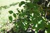 Juglans regia (English Walnut, Persian Walnut) (Plant Image Library) Tags: arnoldarboretum boston massachusetts september 2017 summer plants trees botany ecology phenology science morphology newengland 69252b juglansregia englishwalnut persianwalnut juglandaceae bud stem bud1