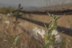 Free weeds - u pick 'em (Tracey Rennie) Tags: fence milkweed okanagan okanaganfalls britishcolumbia plant weed smoke
