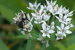 baskets (avflinsch) Tags: ifttt 500px macro flower white green insect bee wasp sting chives