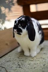 Coca (gwendoline.lereste) Tags: bunny rabbit lapin noiretblanc blackandwhite blancoynegro outside portrait portraiture retrato 50mm nikon nikond810