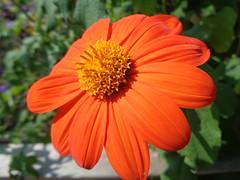Zinnia? Anyone? (Laurette Victoria) Tags: compositae composite flower garden