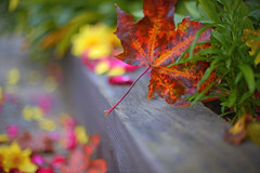 Autumn Walks.. (KissThePixel) Tags: colours autumn autumnlight autumncolours autumnwalk september nikon nikondf nikon12 nikkor nikkor12 bokeh macro leaf leaves nature depthoffield dof dofalicious 50mm