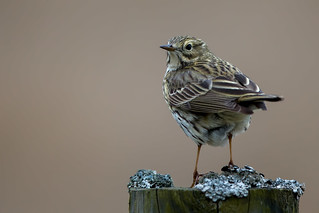 Meadpw Pipit