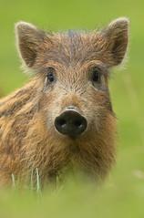 Wild Boar Piglet (oddie25) Tags: canon 1dx 600mmf4ii boar wildboar piglet humbug forestofdean nature naturephotography wildlife wildlifephotography