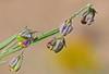 CAE005244a (jerryoldenettel) Tags: 170907 2017 bluemilkwort fabales fresnelcanyon nm oteroco polygala polygalabarbeyana polygalaceae rosids wildflower flower milkwort