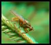 Life Is Golden 3  - Anaglyph 3D (DarkOnus) Tags: life golden dung fly pennsylvania buckscounty panasonic lumix dmcfz35 3d stereogram stereography stereo darkonus closeup macro insect flydayfriday day friday hfdf fdf anaglyph scathophaga stercoraria