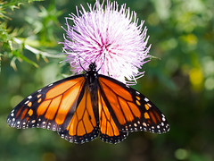 Monarch Butterfly (Brian E Kushner) Tags: monarchbutterfly monarch butterfly danausplexippus whitehalllandingde whitehall landing bombay hook national wildlife refuge smyrna delaware bombayhooknationalwildliferefuge bombaynwr whitehallcrossroads de nikon d850 nikond850 bugs insects fly flies bkushner tamron af 90mm f28 di sp am 11 macro lens