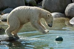 Got a new toy, they said it is polarproof........ so let's see.. (K.Verhulst) Tags: polarbears polarbear ijsberen ijsbeer lale emmen wildlandsadventurezoo wildlands bear beer beren