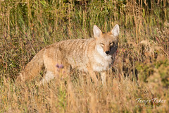 Coyote out looking for breakfast