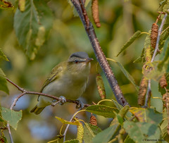 Red-eyed Vireo (Summerside90) Tags: birds birdwatcher redeyedvireo september summer fall migration backyard garden nature wildlife ontario canada