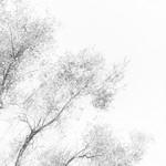 #backgrounds  #motion  #abstract  #tree  #Olivetree  #nopeople  #nature  #flying  #closeup  #day  #freshness  #dissolving  #outdoors  #blackandwhite  #blackandwhitephotography  #Black&White  #whitebackground thumbnail