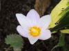Flowers - (PL) Krokus (transport131) Tags: flower kwiat ogród garden krokus crocus