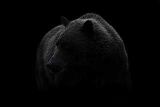 Brown Bear in shadow