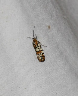 9125 Spragueia guttata, Spotted Spragueia