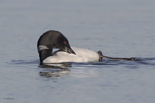 Common Loon / Plongeon huard