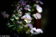 Michaelmas Daisies (judy dean) Tags: judydean 2017 daisies purple naturethoughthelens