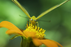 20170924_F0001: Butterfly covered in yellow (wfxue) Tags: smithsonian nationalmuseumofnaturalhistory butterflypavilion museum animal plant butterfly flower leaf green yellow pollen insect eyes nature biology science macro