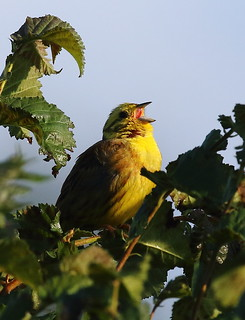 Yellowhammer in the hedgerow