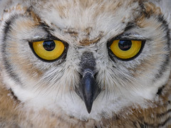 I fell in love .... (annkelliott) Tags: alberta canada southernalberta nearlethbridge coaldale albertabirdsofpreycentre wildliferehabilitation nature captive ornithology avian bird birds birdofprey owl greathornedowl bubovirginianus owlet young closeup faceshot face head eyes frontview eyecontact stare outdoor summer 3august2017 fz1000 annkelliott anneelliott ©anneelliott2017 ©allrightsreserved