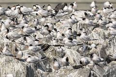 221/365  Terns and poop