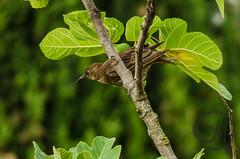 birdwatching - 5 (Giulio Mazzini) Tags: becco bird birdwatching caccia natura nature rondini siena toscana uccelli