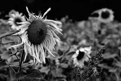 """grey day"" (B.Graulus) Tags: photography monochrome picture sunflower sunflowers field bnw bw blackandwhite canon bertem flanders belgium belgië belgique flower flowers flora"