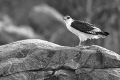 LAST LOOK B+W (Mike Reval) Tags: bird samburu kenya bw animal