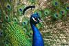 DSC00171 (Totoro Lulu) Tags: paon annimaux sonyalpha350 oiseau oiseaux
