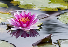 Pink lady of the lake (skipnclick) Tags: water lily lake leaves reflections pink green nikon d610 300mm f4