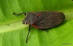 Froghopper, Cercopidae (Ecuador Megadiverso) Tags: andreaskay cercopidae ecuador focusstack froghopper hemiptera spittlebug truebug cercopoidea