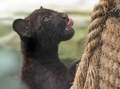 jaguarcub artis BB2A9129 (j.a.kok) Tags: jaguar kat cat jaguarcub zwartejaguar blackjaguar artis animal zoogdier zuidamerika southamerica mammal pantheraonca