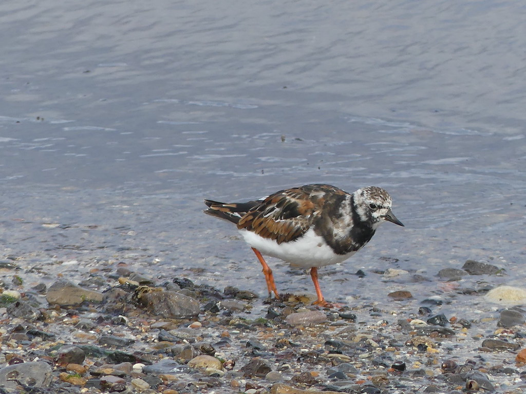 Beach comber -Turnstone P1270822