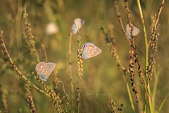 Icarus Blue at sunset (rudi.verschoren) Tags: common blue butterfly sunset landscape glow flanders europe colors grass mood outdoor insect nature