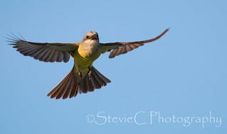 Tropical Kingbird In Flight