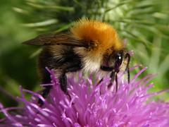 Es summt und brummt allerorten. (Wallus2010) Tags: nahaufnahme distel hummel pollen