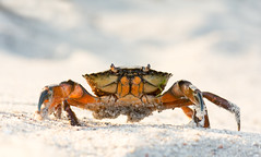 Green crab (Wouter's Wildlife Photography) Tags: greencrab crab carcinusmaenas nature wildlife beach sand fjord wildlifephototgraphy naturephotography vejle