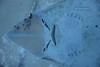 Shark ray (MarianaFC26) Tags: shark ray fish water ocean sea oceanografic inside blue