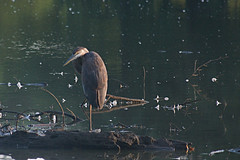 heron (avflinsch) Tags: ifttt 500px lake water bird nature log pond heron dirt wet mud